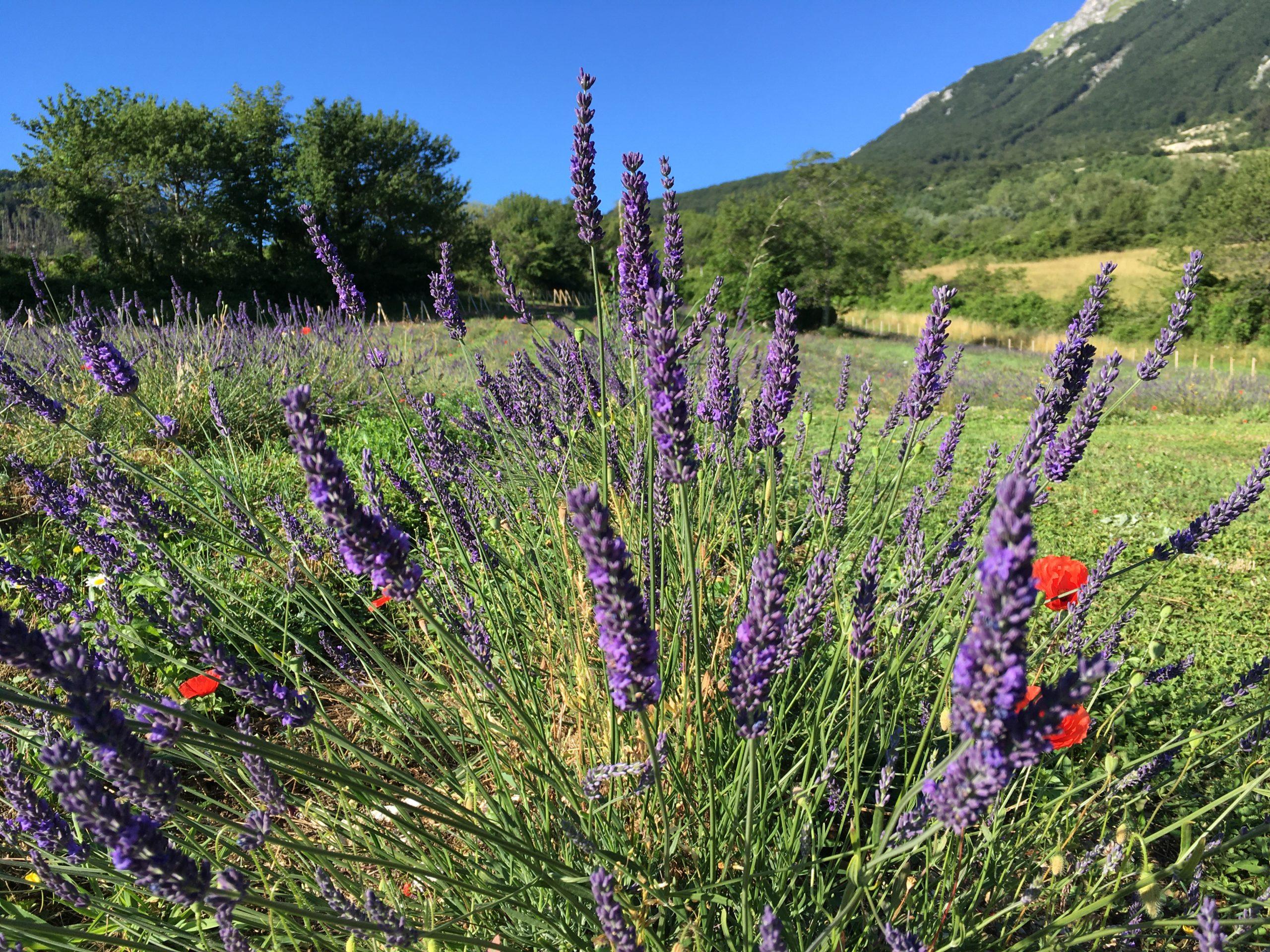 :. 31/07 – Escursione Speciale fioriture: Lavanda, Montegallo e una storia